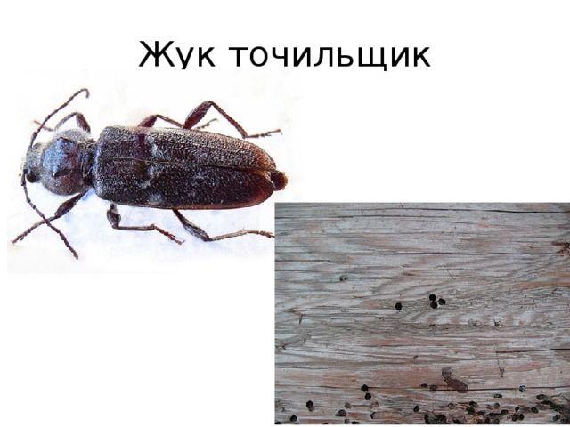 Мебельные жуки как выглядят