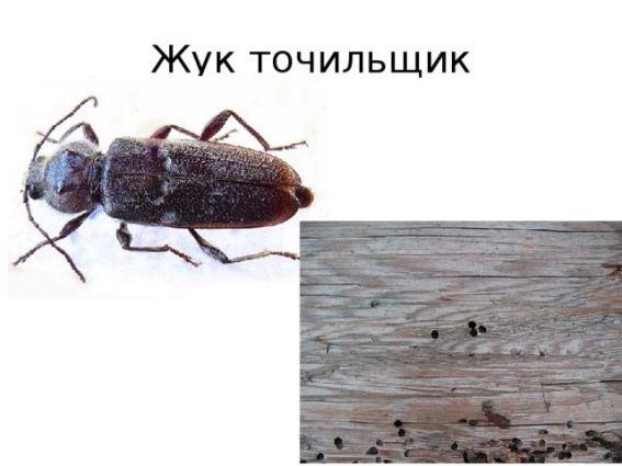жук точильщик