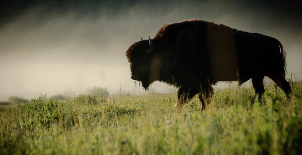 Buffalo_in_the_mist___Flickr_-_Photo_Sharing_