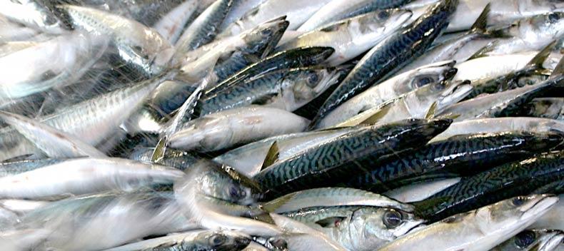 腎臓に良い青魚