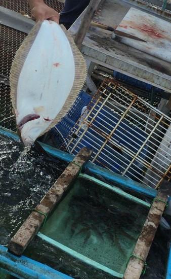 投げ釣り釣果 ヒラメ
