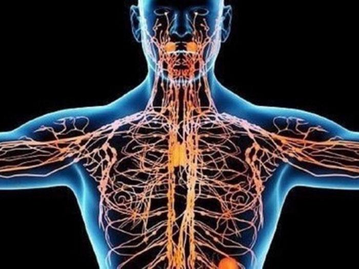 лимфатическая системы