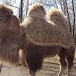 верблюд 2
