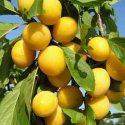 Слива Жёлтая крупноплодная