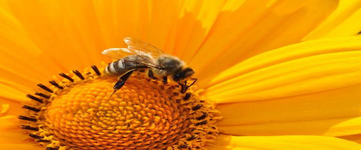Пчелен прашец полезна информация