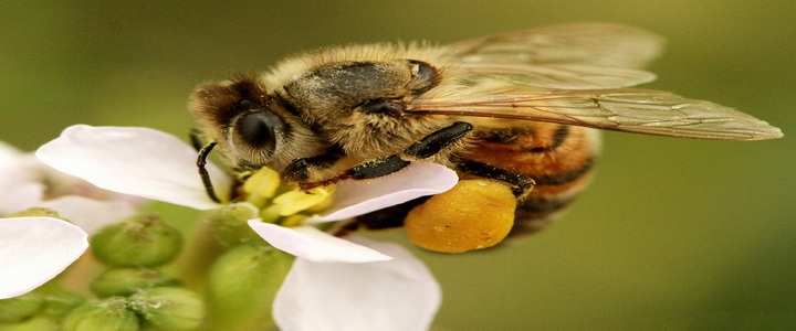 Пчелен прашец ползи за здравето и тялото
