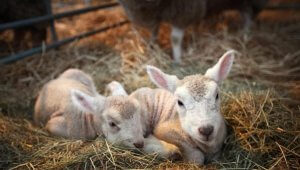 Little lambs sa Hlevu sa Seine.