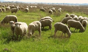 Lampaat laiduntamalla