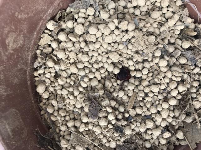 ブレンドした土にまいたタマリンドの種