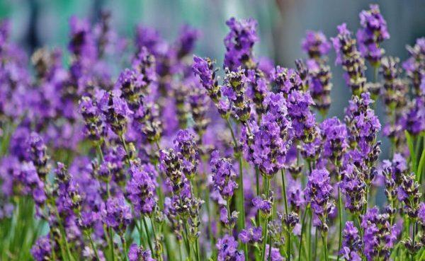 lavender-1477580_960_720