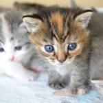 猫ウイルス性鼻気管炎,潜伏期間,原因,症状