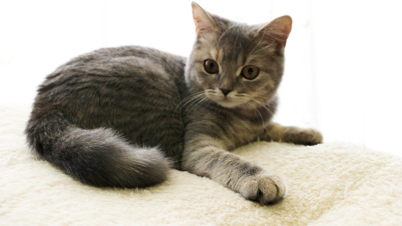 猫伝染性腹膜炎,初期症状,原因,完治
