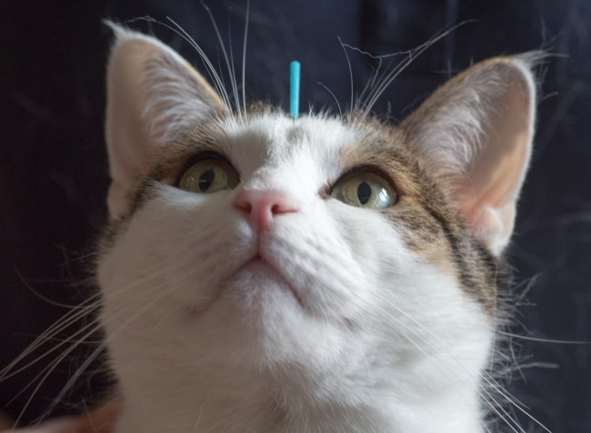 Katze wird mit Akupunkturnadel behandelt.