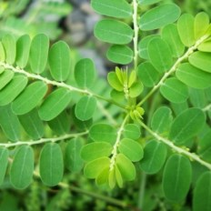 ChancaPiedra Phyllanthus niruri 6