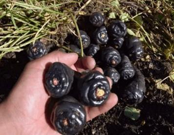 Mashua negro black