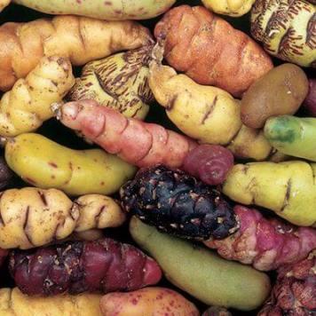 variedades-de-la-oca alimentos andinos orgánicos