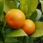 mediterrane Pflanzen - Orangen