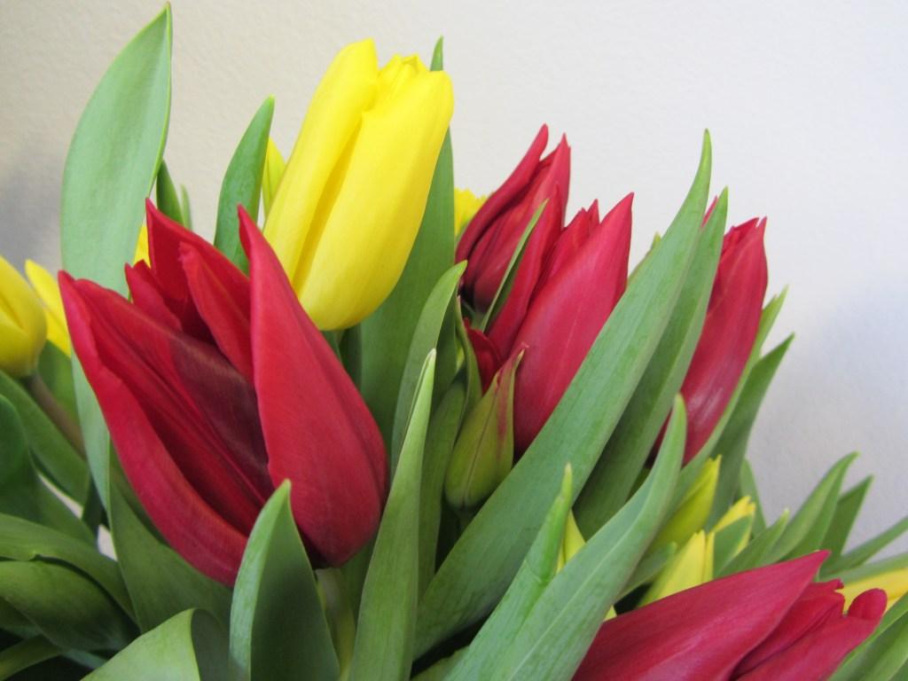 Tulpe (7)