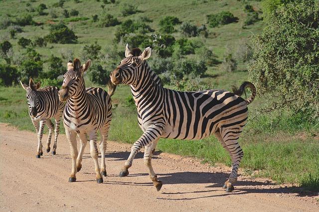 sebra safari