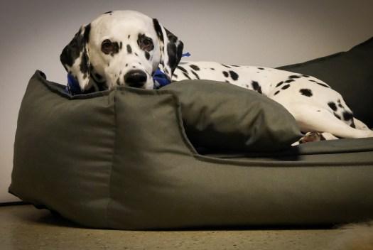 Eingerollt oder ausgestreckt liegen können – Die Größe der Liegefläche vom Hundebett für Bürohunde