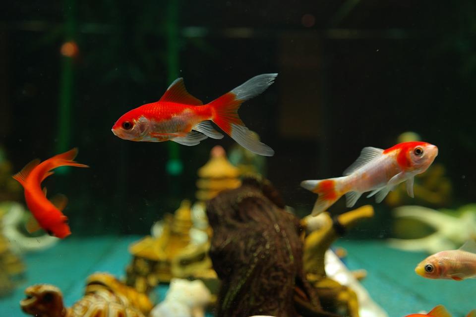 え、3月3日は金魚の日?!【季節の無料(フリー)図案】金魚柄【クロスステッチ・アイロンビーズ・編込み柄に】