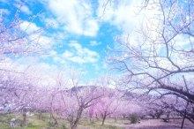桜花の候 意味