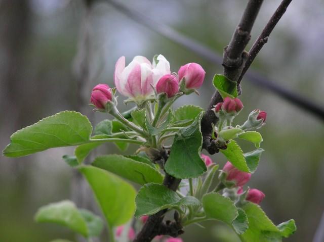 林檎 花言葉