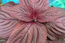 赤紫蘇 栄養 効果 効能