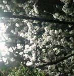 花祭りの夜に。