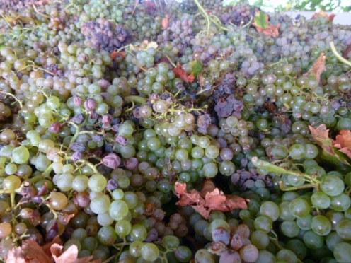 image of grapes in our garden at Cortijo Las Viñas