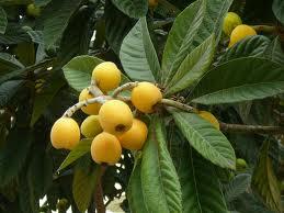 image of nispero fruit in our gardens at Cortijo Las Viñas
