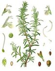 image of rosemary
