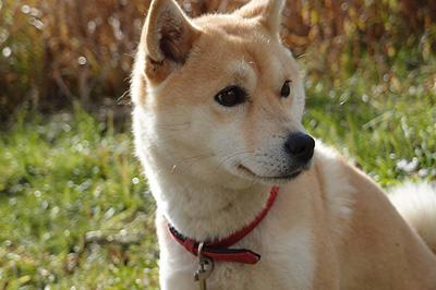 pixabayの柴犬写真1
