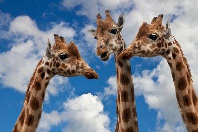 s-giraffes-627031_640