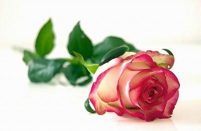 s-rose-301406_640