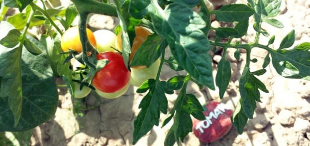 die erste rote Tomate