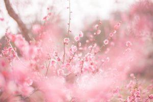 【4月上旬~下旬予定】佐藤農場梅園開放|農場いっぱいに咲いた色鮮やかな梅の花が