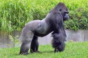 significado de soñar con gorilas