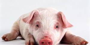 significado de soñar con cerdos