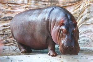 significado de soñar con hipopótamos