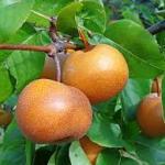 【おススメ!】千葉県で梨狩りならここ!おすすめランキングTOP3!