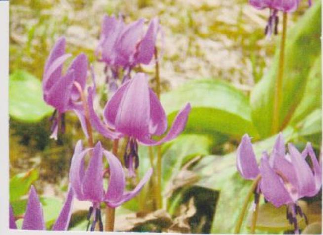 カタクリの花の絵ー1