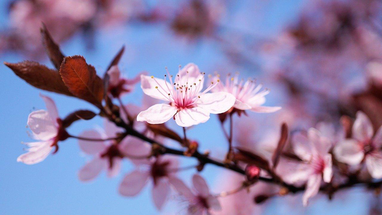 桜の写真画像