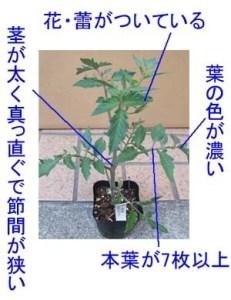 tomato-yoinae