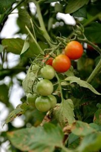 tomato-new013