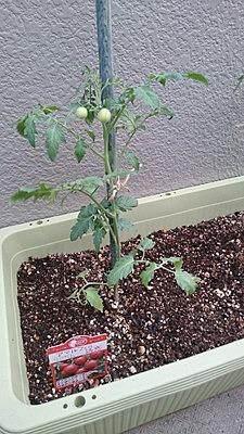 tomato-sityutate004