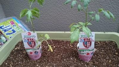 tomato-uetuke003