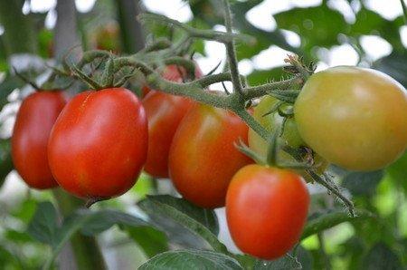 tomato185