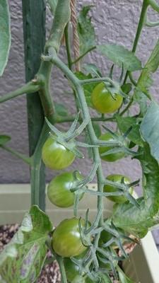 tomato-syukaku001