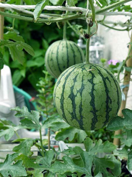 小玉 スイカ の 栽培 方法